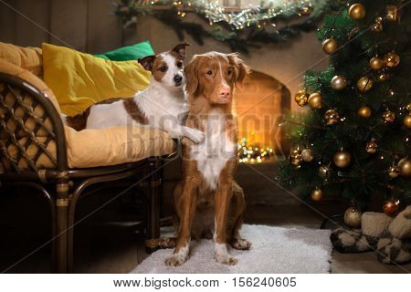 Dog Jack Russell Terrier And Dog Nova Scotia Duck Tolling Retriever . Christmas Season 2017, New Yea