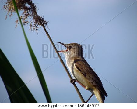 Marsh Warbler sits on a stalk and looks forward