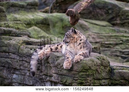 Snow Leopard Sitting On The Top Of A Rock
