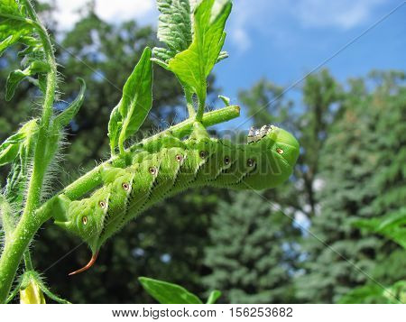 Tobacco hornworm moth caterpillar eating a tomato plant.