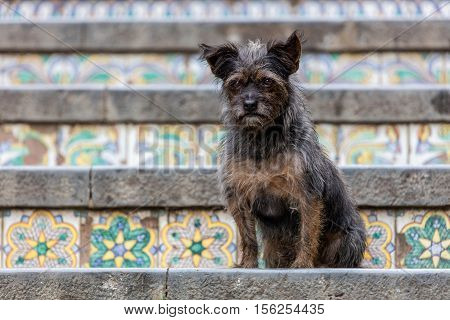Dog on the 18th century Staircase of Santa Maria del Monte main landmark of Caltagirone Sicily. The town is famous for it's maiolica and terra-cotta wares.