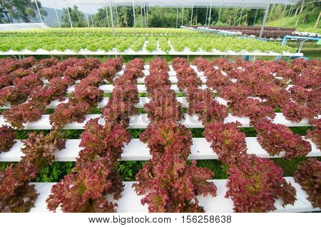 Hydroponic vegetables growing in greenhouse Thailand colon hydroponic vegetable