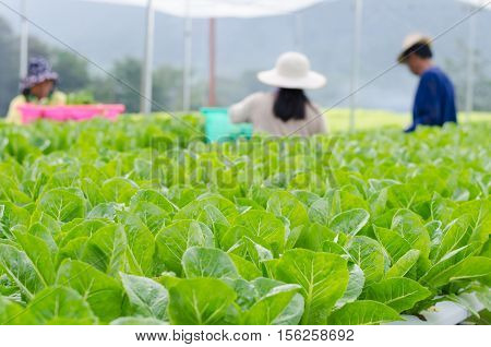 Hydroponic vegetables growing in greenhouse Thailand blur gardener in background