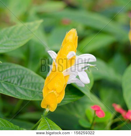 Pachystachys lutea Nees LollypopsGolden candle Golden shrimp plant Lollypops ( Acanthaceae) flower