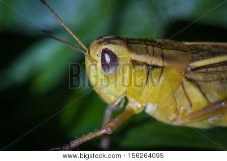 Small Yellow Grasshopper