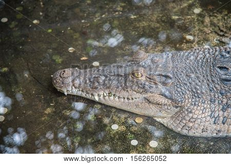 Amphibian Prehistoric Crocodile,Alligator or crocodile animals closeup