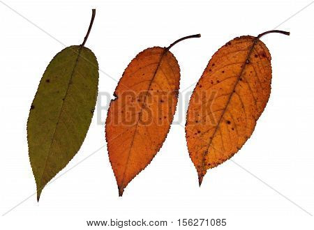 Pressed and dried leaves of sweet cherry (Prunus avium) on white background for use in scrapbooking floristry (oshibana) or herbarium.