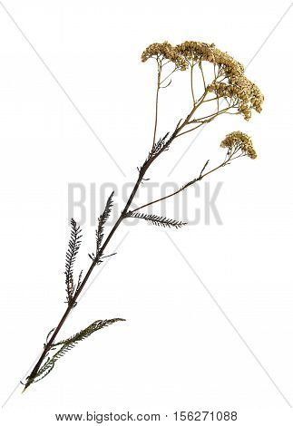 Pressed and dried flowers of common yarrow (Achillea millefolium) on stem with leaves isolated on white background for use in scrapbooking floristry (oshibana) or herbarium.