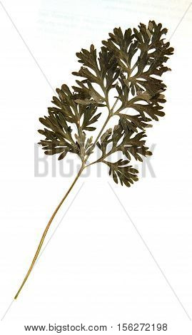 Pressed and dried leaves of common wormwood (Artemisia vulgaris) on stem with leaves isolated on white background for use in scrapbooking