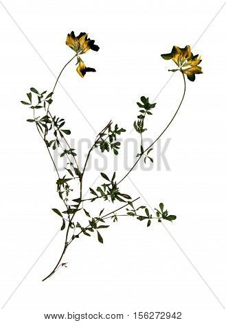 Pressed and dried flowers and leaves of yellow lucerne (Medicago falcata) on stem with leaves isolated on white background for use in scrapbooking