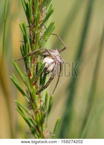 nursery web spider with a cocoon - Pisaura mirabilis