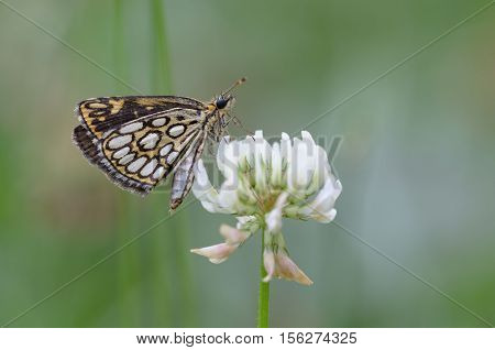 Large chequered skipper on white clover - Heteropterus morpheus, closeup nature photo