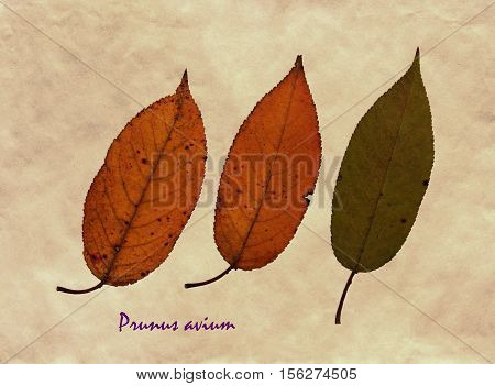Herbarium from pressed and dried leaf of sweet cherry on antique brown craft paper with Latin subscript Prunus avium.