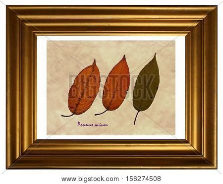 Herbarium from pressed and dried leaf of sweet cherry with Latin subscript (Prunus avium) in the frame on white background.