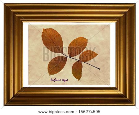 Herbarium from pressed and dried leaf of walnut with Latin subscript (Juglans regia) in the frame on white background.