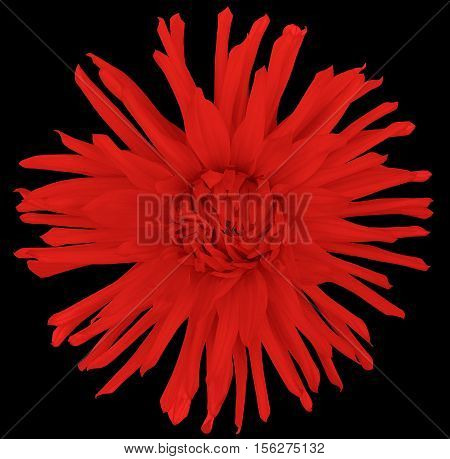 flower red on a black background isolated with clipping path. Closeup. big shaggy autumn flower. Aster.