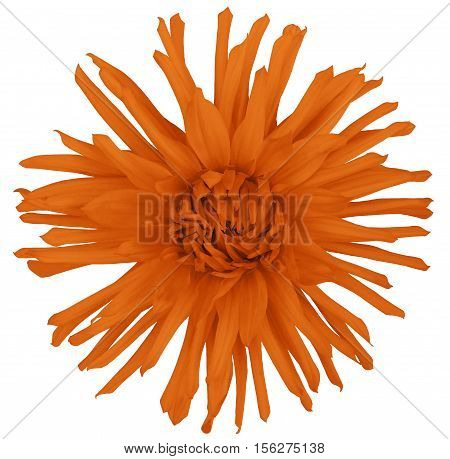 flower orange on a white  background isolated with clipping path. Closeup. big shaggy autumn flower. Aster.