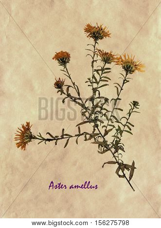 Herbarium from pressed and dried flowers of European Michaelmas-daisy on antique brown craft paper with Latin subscript Aster amellus.