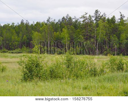 Mixed larch-birch (Larix, Betula) forest in Yakutia