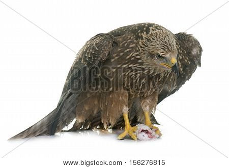 Common buzzard in front of white background