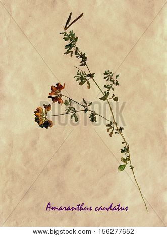 Herbarium from pressed and dried flowers and leaves of yellow lucerne on antique brown craft paper with Latin subscript Medicago falcata.