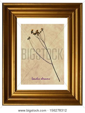 Herbarium from pressed and dried flowers of common sowthistle (Sonchus oleraceus) in the frame.