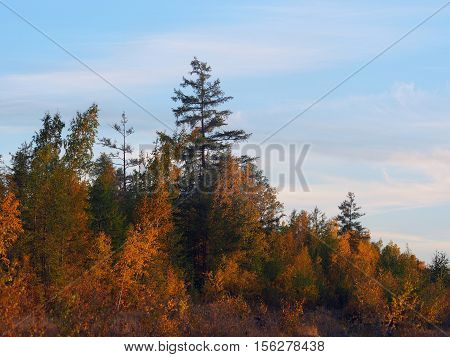 Autumn birch-larch (Betula and Larix) forest in Yakutia