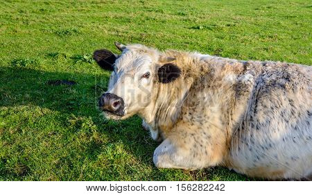 Portrait of a resting and ruminating cow with mottled fur and black ears lying in the grass on a sunny day in the end of the fall season.