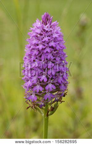 Pyramidal Orchid - Anacamptis pyramdalis Large Mature Flowerhead