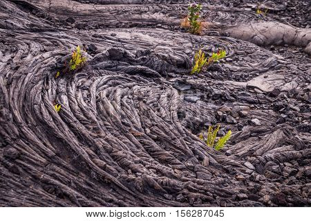 Patterns formed by a lava flow are bursting with new life as small green ferns grow in the cold lava in Volcanos National Park, Hawaii