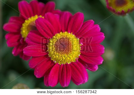 Beautiful red marguerite close-up in the garden