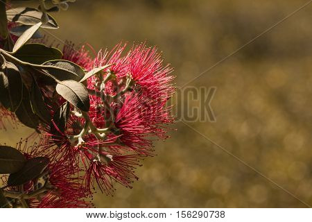isolated red pohutukawa tree flowers in bloom