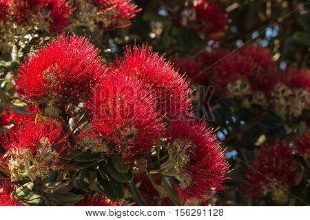closeup of red pohutukawa flowers in bloom