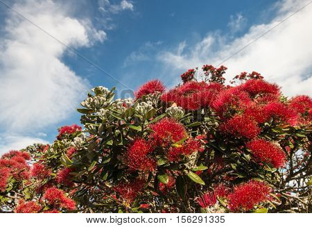 red Pohutukawa tree flowers with copy space