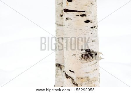 birch trunk fragment closeup separately on an indistinct background of white snow