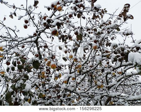 autumn apples froze in the garden on the branches