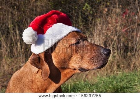 Christmas dog. Sad dog eyes. Rhodesian ridgeback portrait.  Looking into the eyes of the dog.