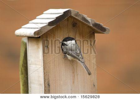 Carolina Chickadee at Birdhouse