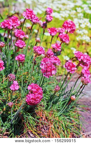 Seaside thrift (Armeria maritima Plumbaginaceae). Decorative perennial garden plant with pink flowers