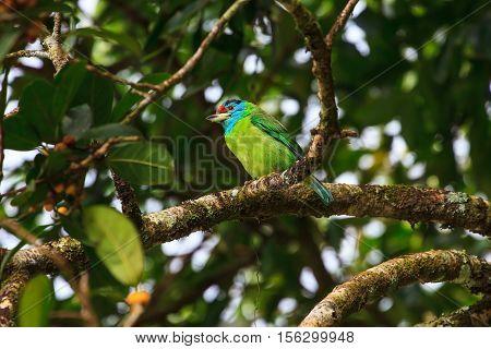Blue-throated Barbet On Fig Tree