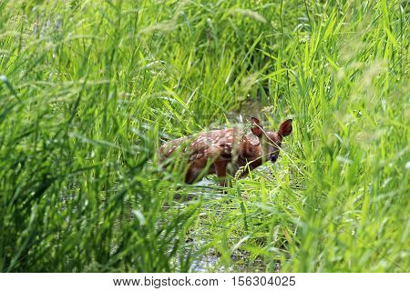 A fawn seems to be stuck in the swamp but quickly runs away after the shot.