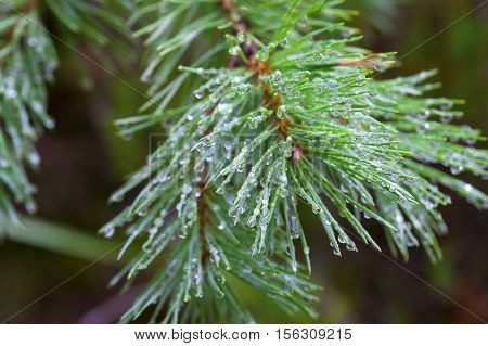 Closeup on water drops on pine needles