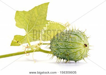 Plant squirting cucumber isolated on white background