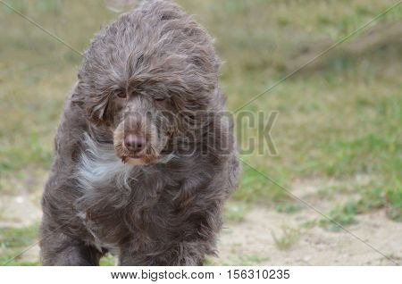 Cute brown Portuguese water dog with a sweet face.