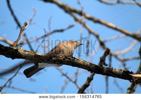 Eurasian jay (Garrulus glandarius). Bird on a branch