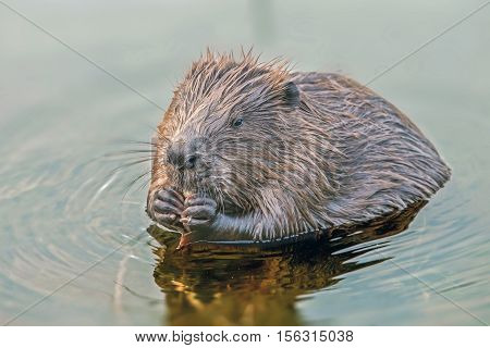 Funny Cute Beavers