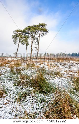 Tall scots pines growing in a Dutch nature reserve with yellowed blades of grasses covered with a small layer of snow. It is a cloudy day in the winter season.