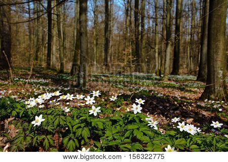 Anemone / Anemone nemorosa in forest / A lot of spring white flowers