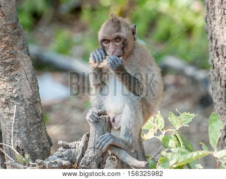 Macaque monkey chewing food in the jungle of Sam Roi Yot National Park south of Hua Hin in Thailand
