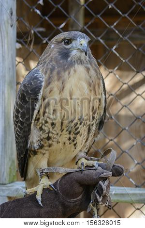 A Red-Tailed Hawk (Buteo jamaicensis), sometimes called a chickenhawk.